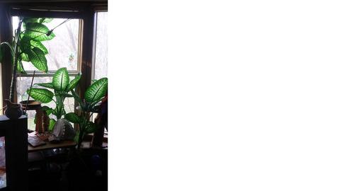 Large leaf houseplant for sale